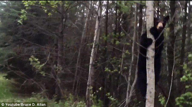 He's a climber: The bear would frequently climb up tress, climb down and then charge at the two men