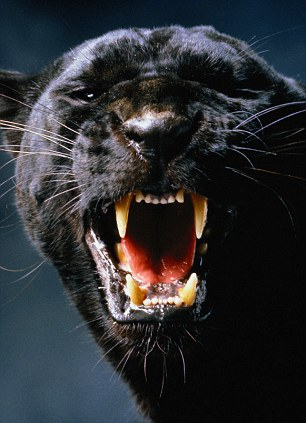 Black panthers are actually black-coated leopards and not a distinct species