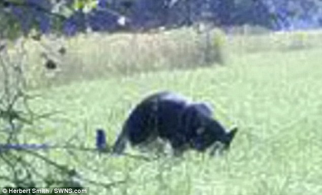 Mystery: One photographer's snap of the beast of Trowbridge. The creature has been spotted throughout Wiltshire and Northamptonshire over the years but there's no conclusive evidence to prove it exists