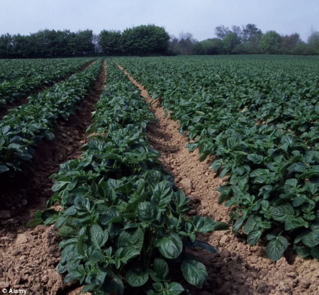 Crop: Peak season for growing Royals, one field ready for harvest pictured, is in May - when 1,500 tonnes of the potatoes are exported