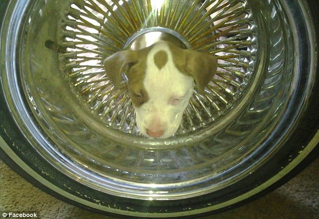 Playful pup: The blue and red-nose pitbull cross was playing with his brothers and siblings at home in Bakersfield, California, when he got his head irreversibly stuck inside the wheel-rim of a Buick Regal