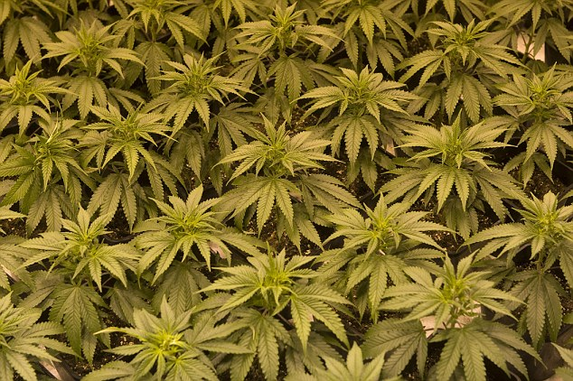 Cannabis is the most widely-used illegal drug in Britain although the numbers of people using it are falling