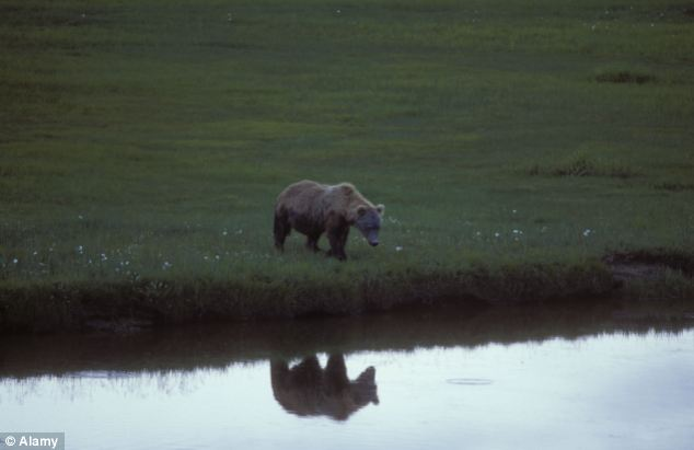 Treacherous: The adventurer is believed to have been making his way from Kokhanok to Perryville. Katmai National Park ranger Wendy Artz said the land between the two villages in home to more bears than people