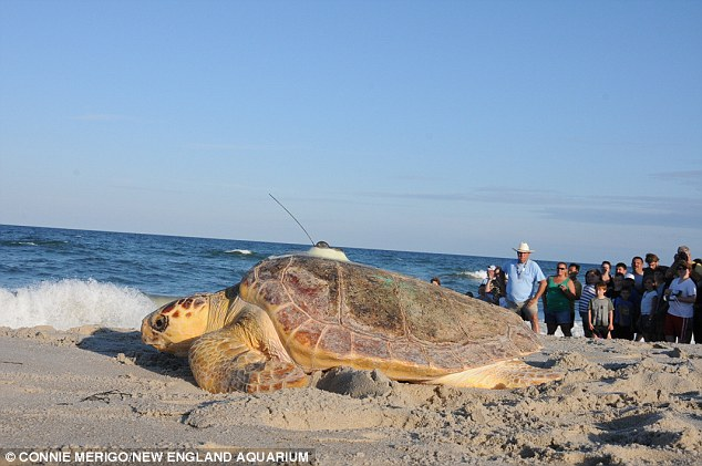Back at the beach: Onlookers watch as a turtle - wearing a satellite - moves back toward the ocean