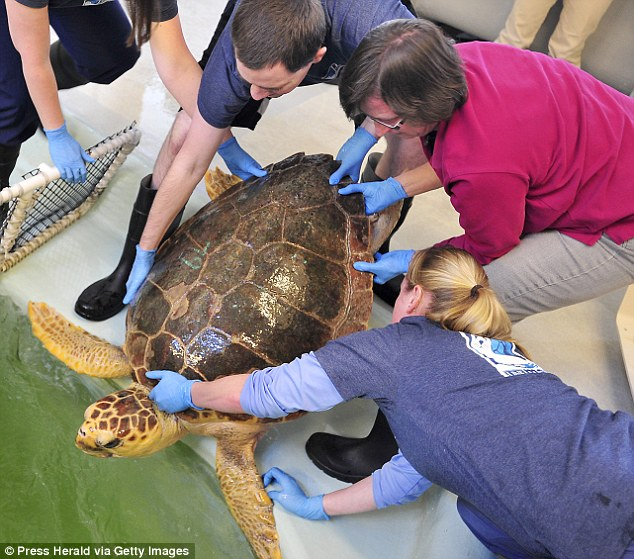 Exam: This May photo shows a turtle being tested as the UNE's Marine Animal Rehabilitation and Conservation Program and aquarium technicians prepare it for future release