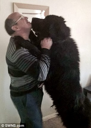 Tragedy: Shadow, a six-year-old Newfoundland, died from internal bleeding following a routine operation