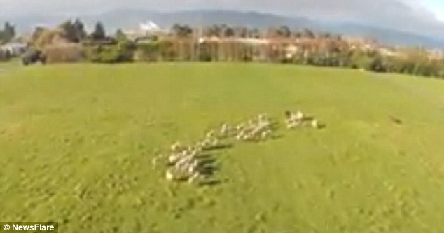 Aerial shot: Marty Todd from Nelson, Zealand, released footage on Monday showing how he uses a remote control helicopter to herd livestock around his vast farm