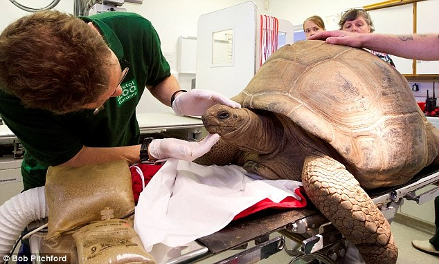 Things are looking up: Helen, the 32-year-old tortoise, is checked over by vets at Bristol Zoo after she began suffering breathing problems