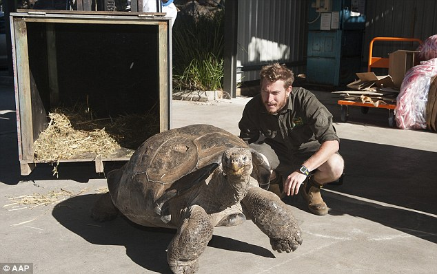 Australian Reptile Park general manager Tim Faulkner said the believed the tortoise could be the heaviest in Australia