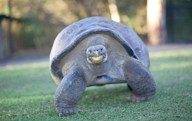 The Galapagos tortoise is classified as a vulnerable species on the International Union for Conservation of Nature Red List