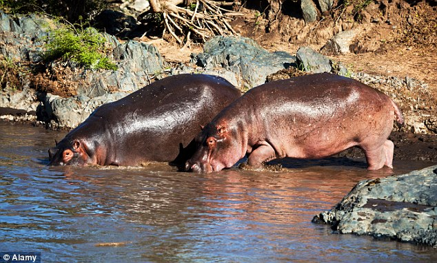Dangerous: The hippos have found a way out of the ranch and now wander freely through the surrounding countryside