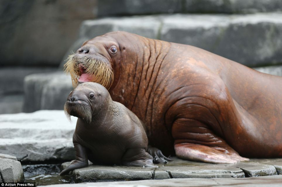 Taking centre stage: This baby walrus, pictured with his mother Dyna, was  introduced to the public for the first time today at Hagenbeck Zoo in Germany