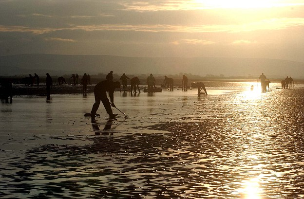 Labour: The drowned workers were picking cockles on the mud flats of Morecambe Bay (file photo)