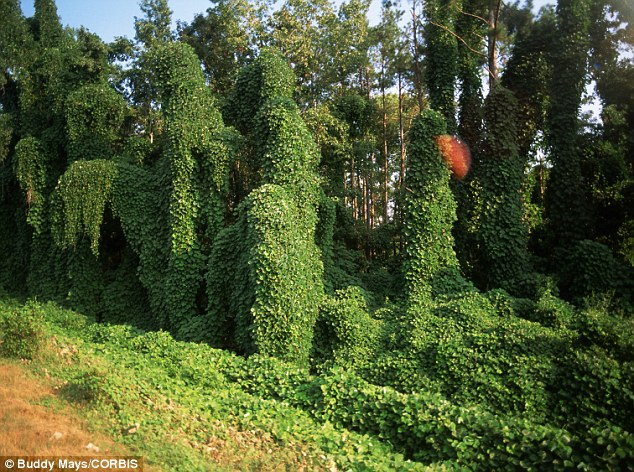 The researchers found that the invasion of kudzu (picture) released carbon that was stored in native soils, while the carbon amassed in soils invaded by knotweed was more prone to oxidation and is subsequently lost to the atmosphere. The kudzu invasion in the U.S. results in the release of 4.8 metric tons of carbon annually