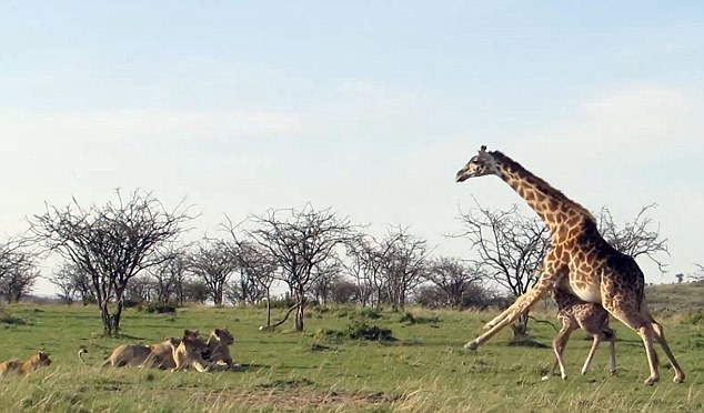 About turn: The pride of lions rush away when they are confronted with the giraffe's hard hooves