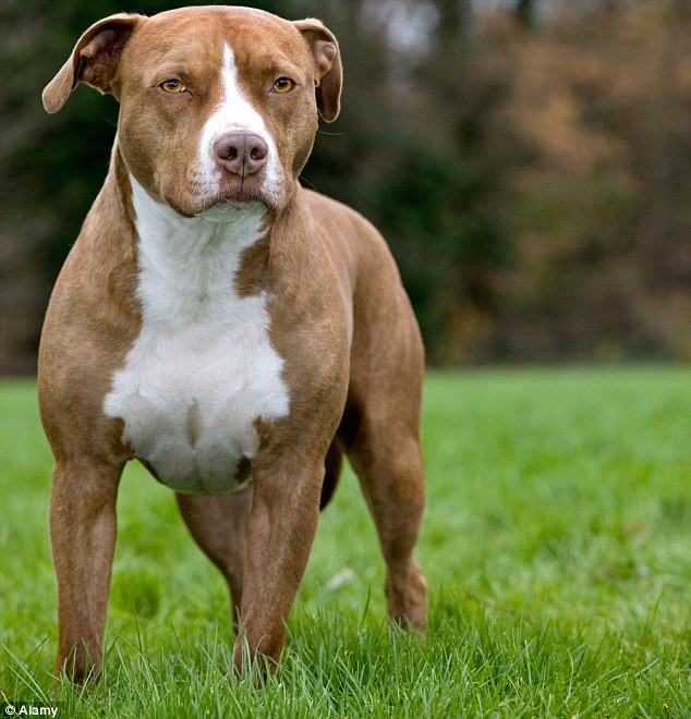 The young boy was bitten on his legs, arms, hips, stomach, buttocks and head in a gated front yard, by the dogs including an American Staffordshire. Pictured is a stock image