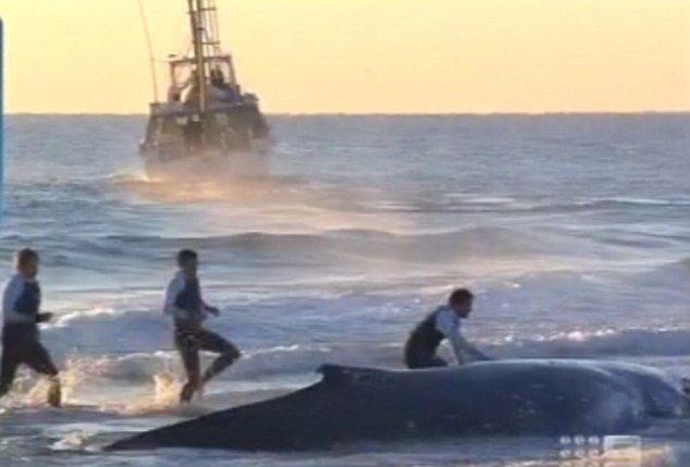 Rescue operation: A team helping to try and free the whale after it was spotted on Tuesday night