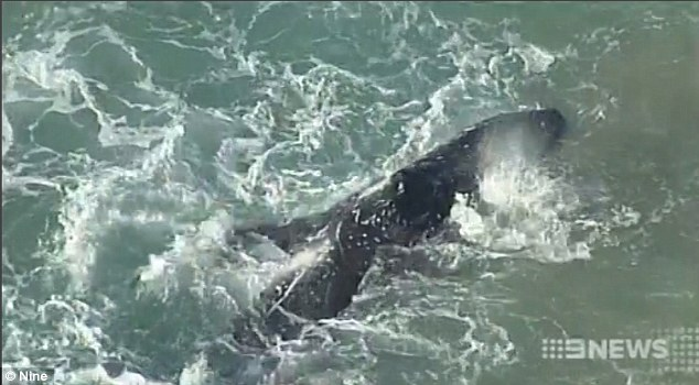 The juvenile humpback whale will spend a second night on the shore and the operation will resume at sunrise on Thursday