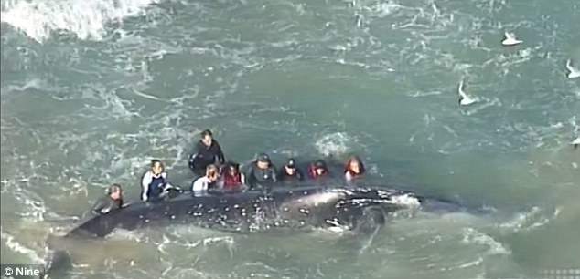 The dedicated rescue team was placed a hairy situation earlier in the day when the whale rolled over on its back almost trapping the rescuers who quickly clambered out of the way