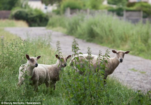 Livestock: Sheep in the field near the homes of Dawe and Mrs Wilkes. The court was told one of her expectant ewes had died following the incident in March of this year