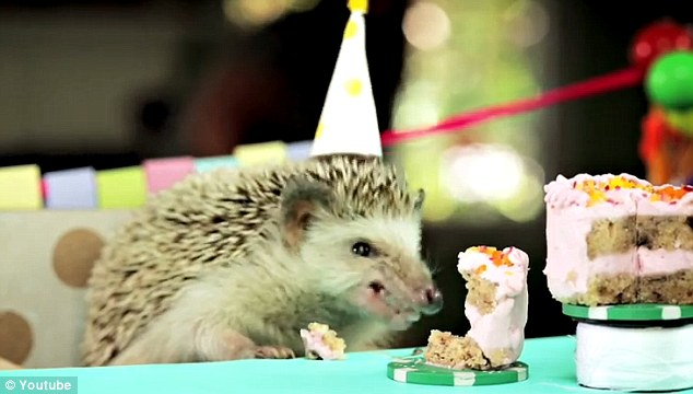 More cake please! A video of a party hat-wearing hedgehog hosting a birthday celebration for its hamster friends has emerged online