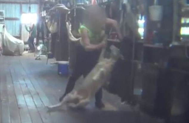 The shearers were captured violently beating sheep and jabbing them in the head with sharp metal clippers and even a hammer