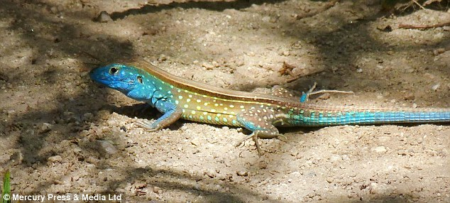 The Rainbow Whiptail lizard is a popular pet and enjoys feeding on crickets and mealworms