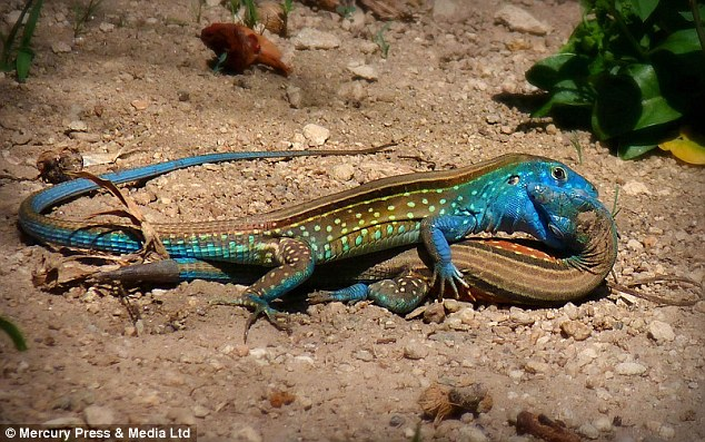 Mariana Ramos de la Rosa took this picture of a pair of lizards in the rainforest in Venezuela