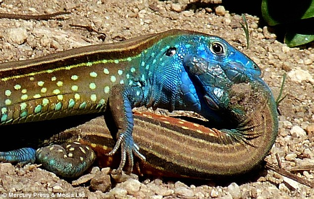 Close up reveals lizards are enjoying a kiss in the rainforest