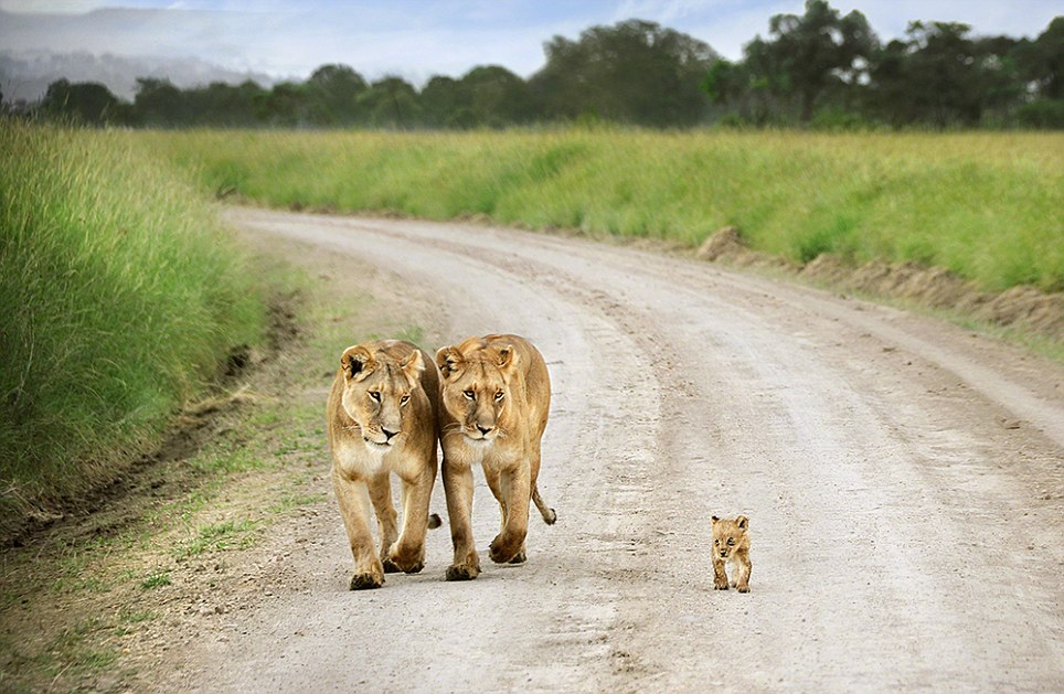 Motherly love: David Lazar of Australia perfectly captures the adoring expressions on the faces of these lionesses as the baby cub walks ahead of them