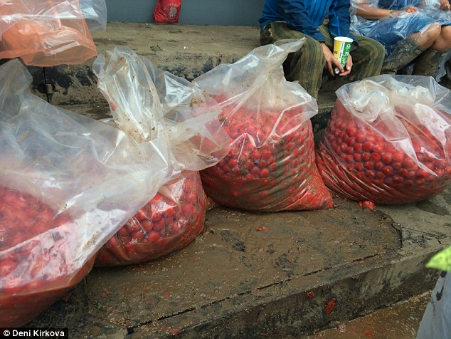 In the red: The tomato fight took no prisoners - everyone was left splattered and battered by fruit