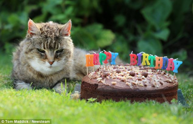 Pinky, who is celebrating her 28th birthday, which could make her the world's oldest cat poses next to her birthday cake