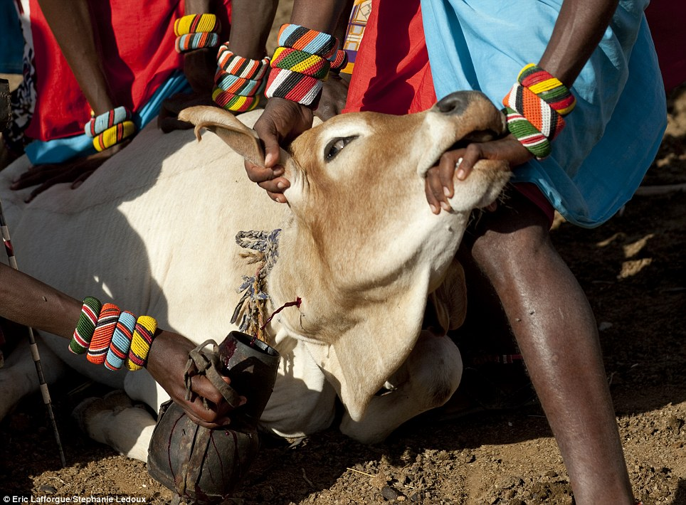 Grisly: Both tribes drink cow's blood and milk 'smoothies'. Blood is taken with the help of a specially made arrow that pierces the vein without killing the cow