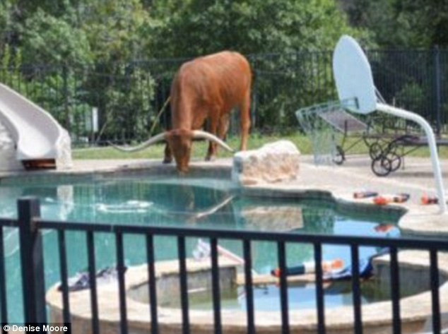 Thirst work: Red the Longhorn likes to lap up water from the swimming pool