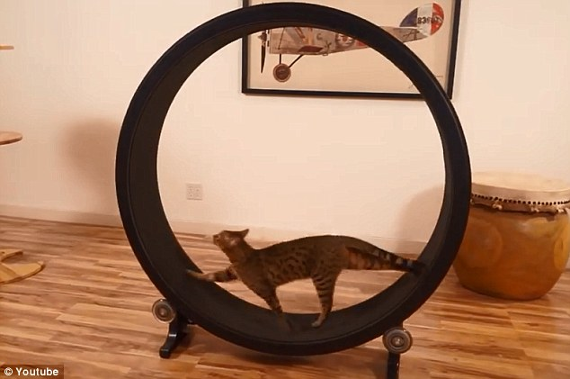 Get those paws moving: The One Fast Cat exercise wheel (pictured) is designed exactly like a hamster wheel, and offers indoor cats a way to get some exercise into their not-so-busy daily regimes