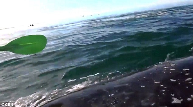 Have a whale of a time: The huge mammal swims right underneath the kayakers