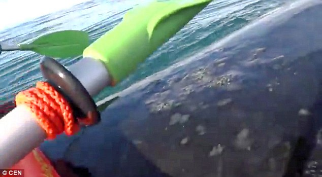 Ready for his close-up: The kayakers whoop with delight as the whale gently lifts them out of the water
