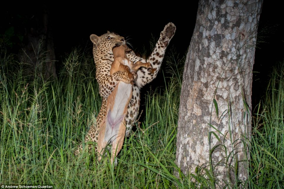 Climb: After gathering its kill, the leopard impressively hoists the impala into a tree
