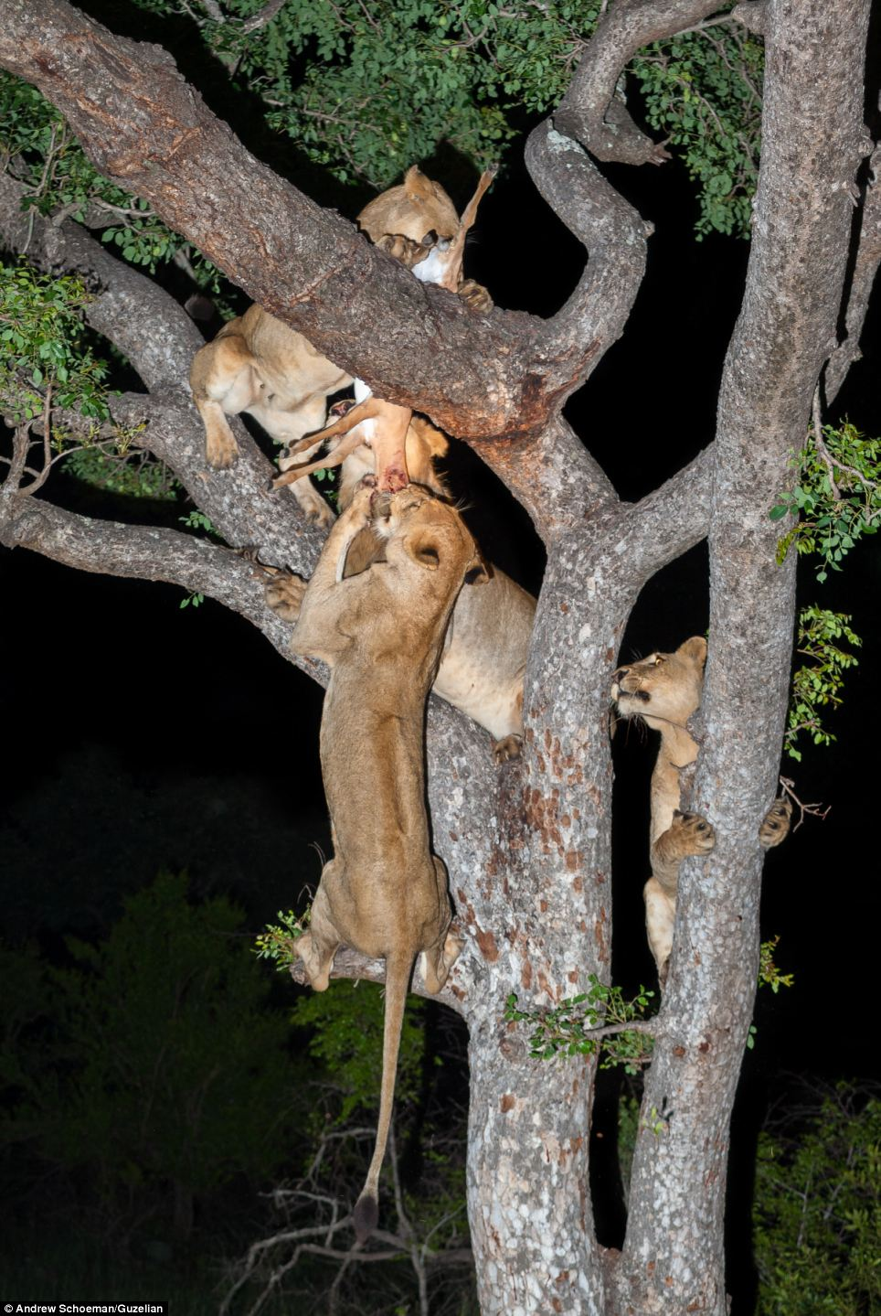 Wildlife: The photographs were taken by wildlife photographer Andrew Schoeman, who described the lions as comical as they struggled to balance as they attempted to take the impala for themselves