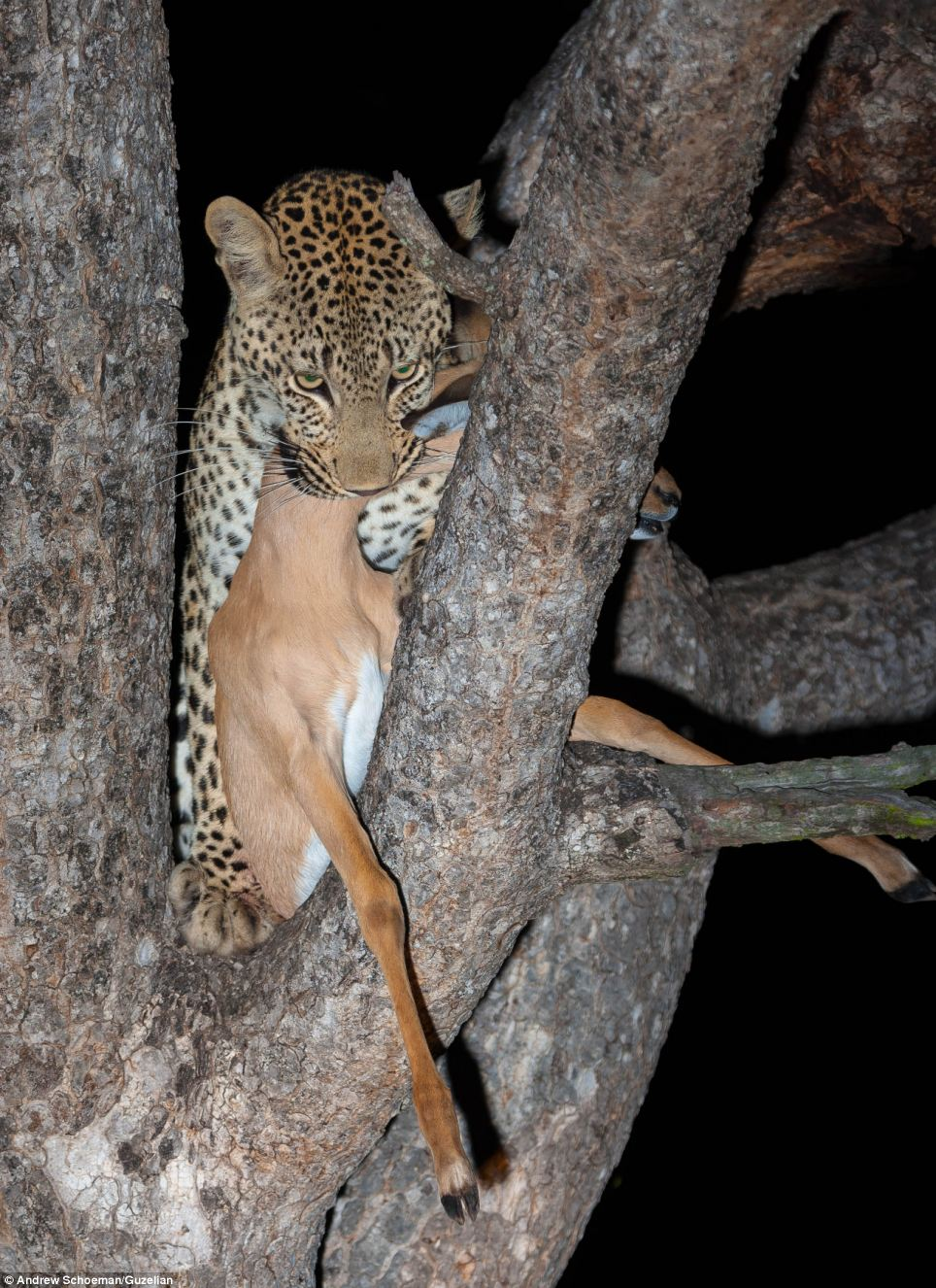Supper: The leopard now has his evening meal in place, however, he is not the only one around