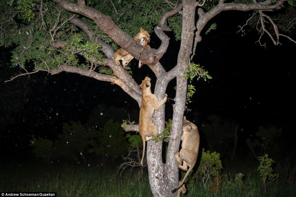 Fight: Once the lions climb the tree, their attention turns to fighting each other for the impala