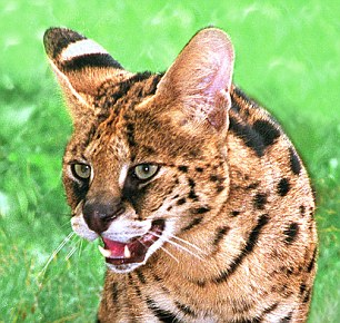 The serval: a cat of spare parts