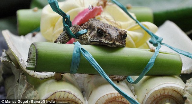 Pukka up: The male frog during the wedding ceremony in India where there has not been any rain