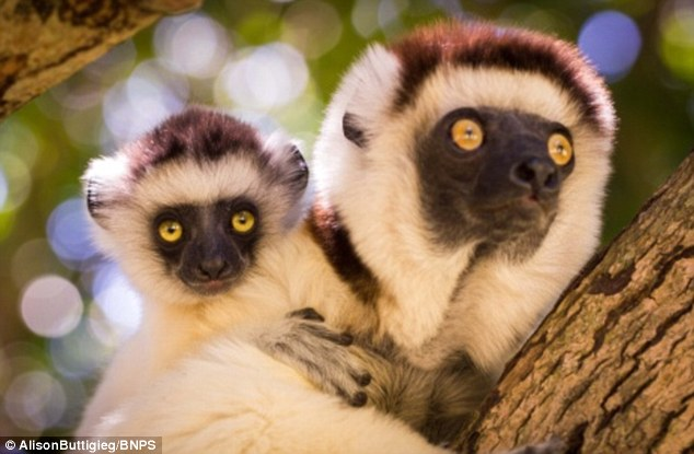 As there was no competition from monkeys on Madagascar, lemurs soon came to dominate its rainforests