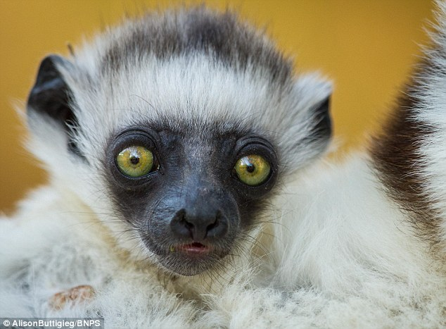 Ancient: Lemurs are named after the lemures (ghosts or spirits) of Roman mythology
