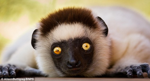 Lemurs use their hands and feet to move nimbly through the trees, but cannot grip with their tails