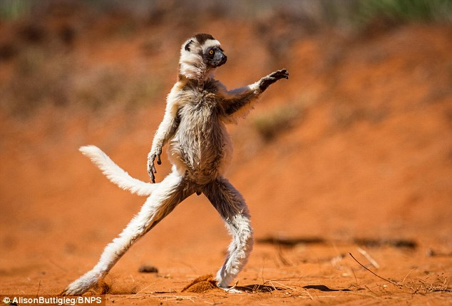 Staying alive: This lemur would give Tony Manero a run for his money on the dance floor