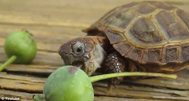 Take two: Kirby the Russian tortoise was filmed as he plodded towards the fruit and determinedly pecked away at it with his beak