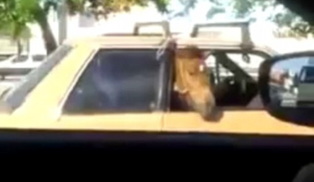 Bizarre: The horse was seen peering out of the window of a car in Fortaleza in the north west of Brazil