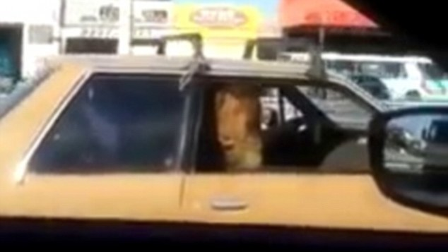 Shocked: The driver of the other car initially thought the animal was a Great Dane